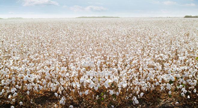 Eco-fashion e la via del cotone buono